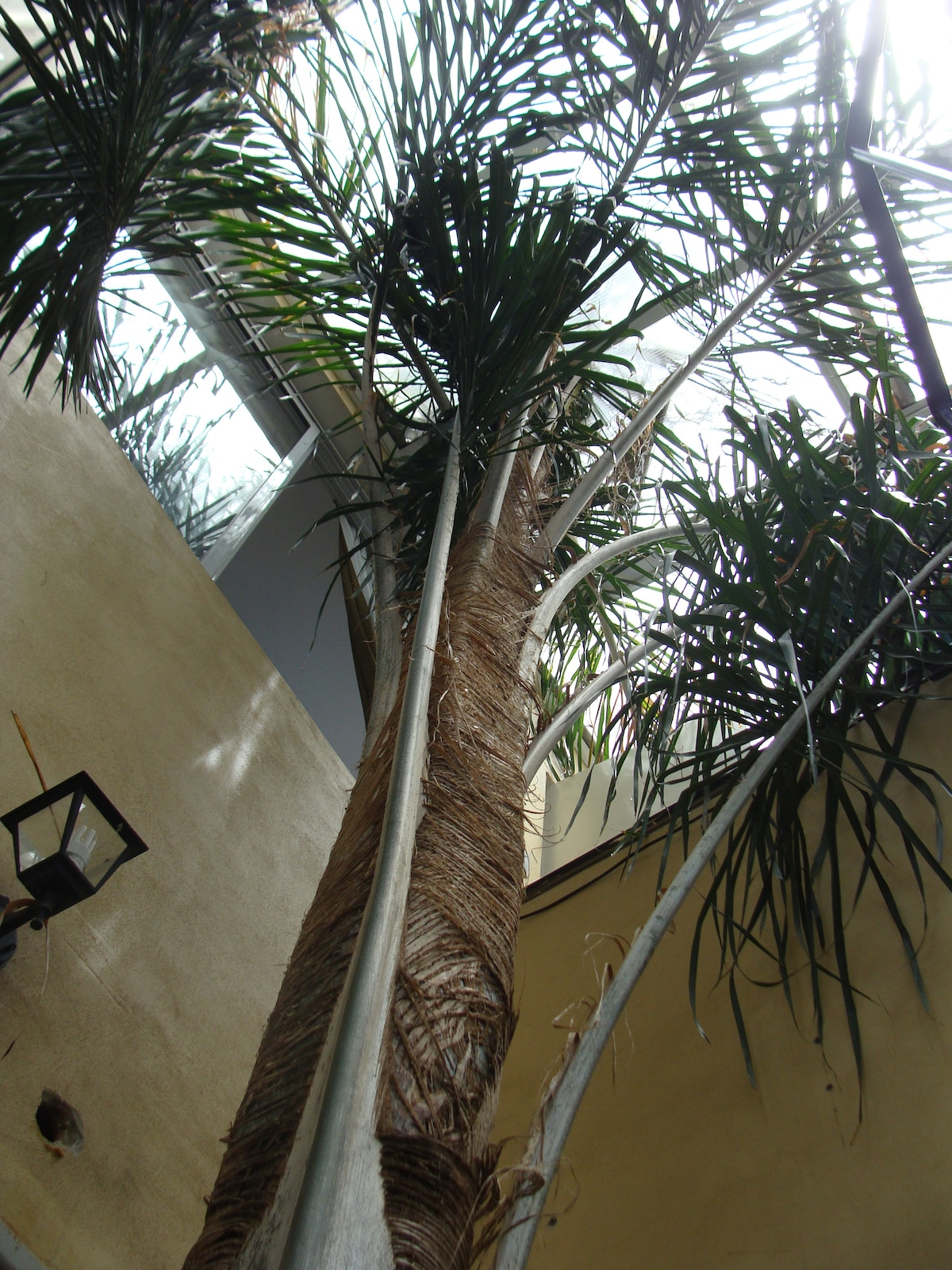 Palm Tree going up from patio