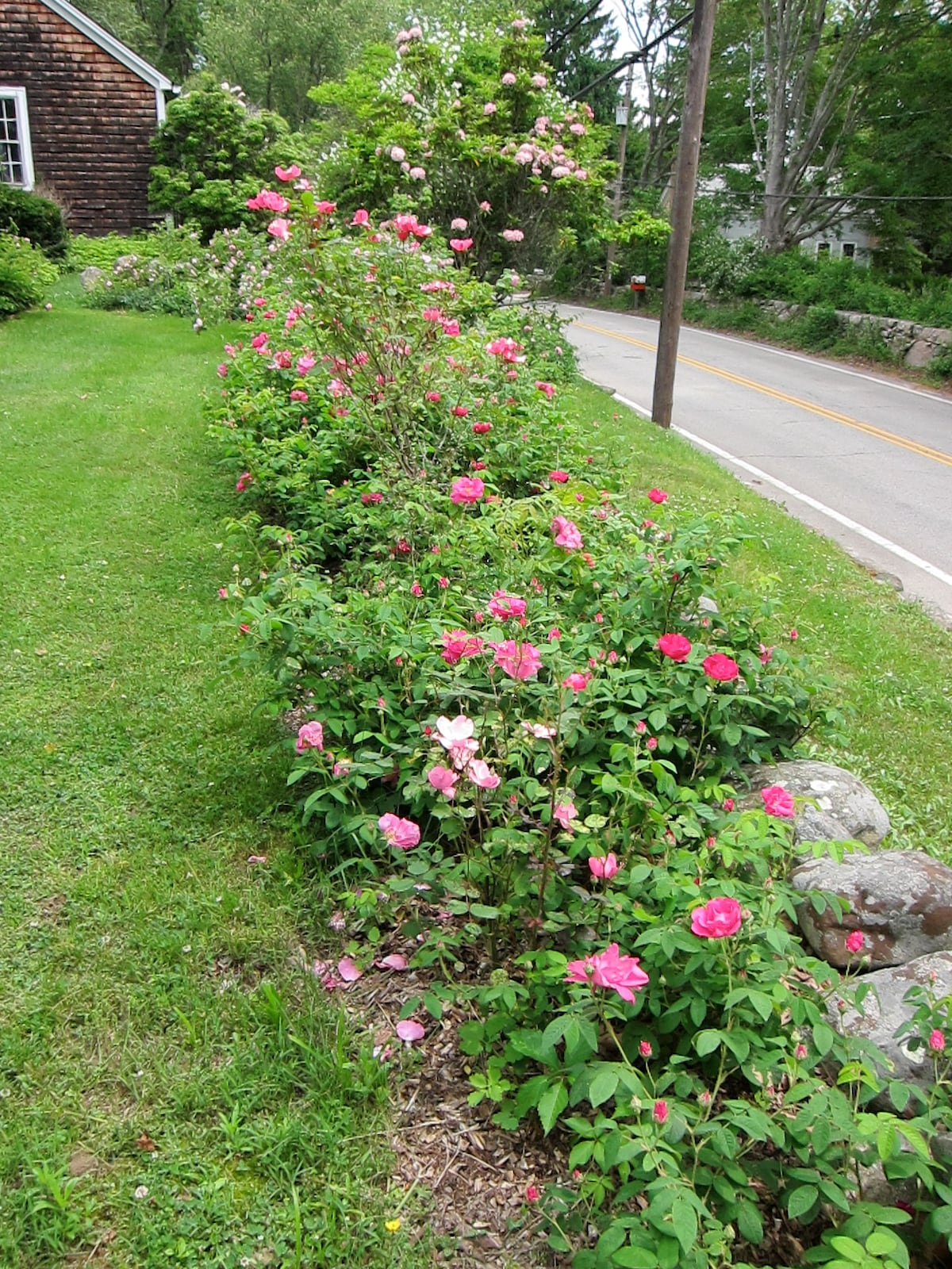 Antique rose bed along Post Road frontage