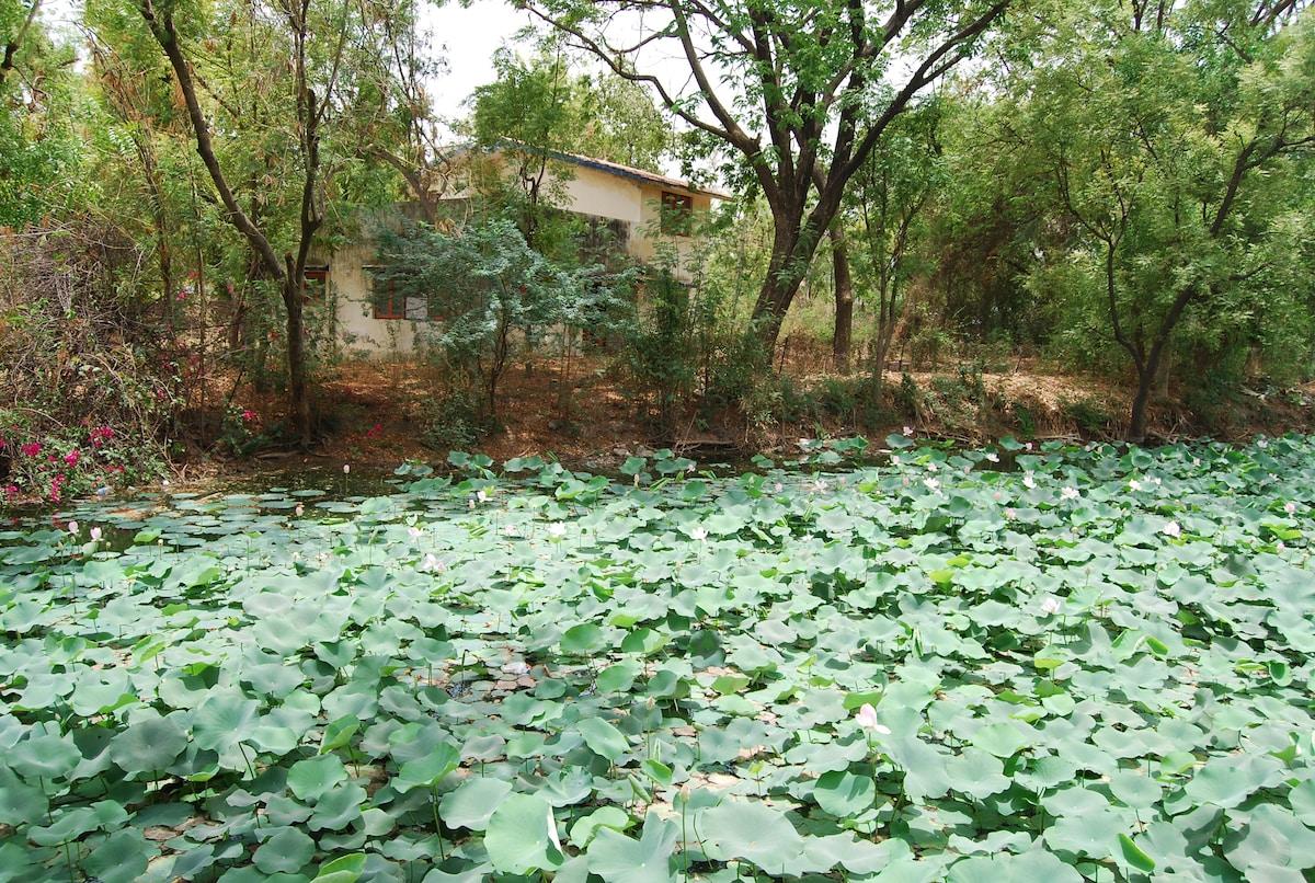 lotus blooms … pre monsoon. just behind the bungalow