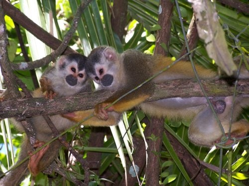 YES,  the Momo Titi monkeys love to play in our babmoo forest.