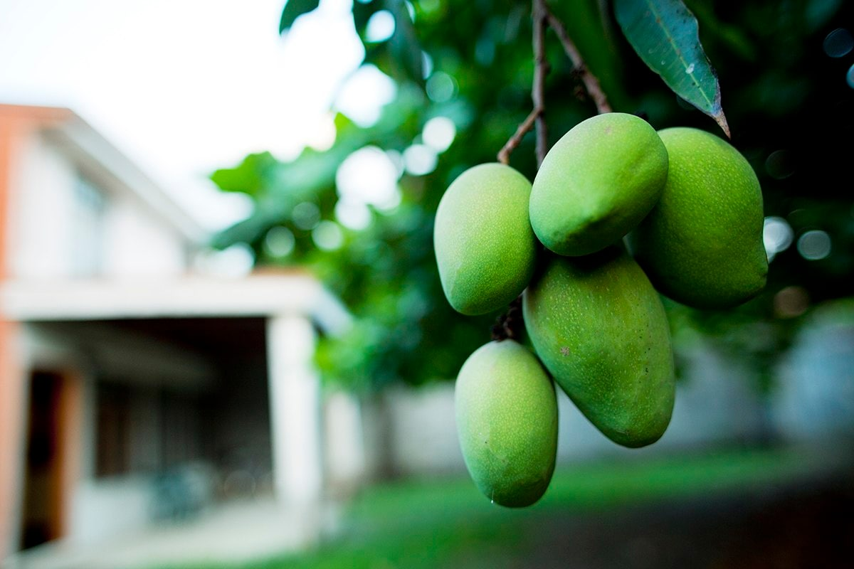 Mangoes grow in a tree in the front yard.