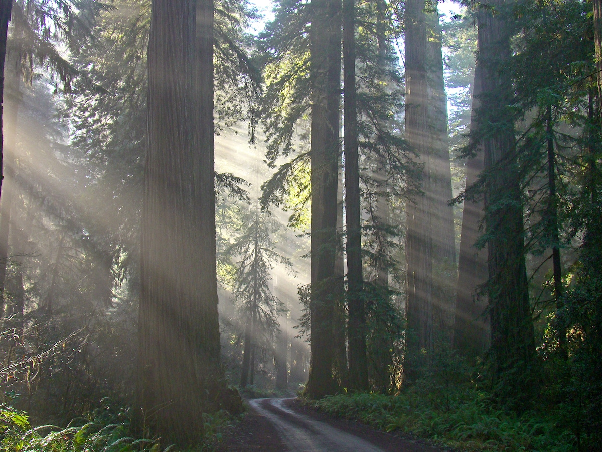 The redwoods of Jed Smith in January