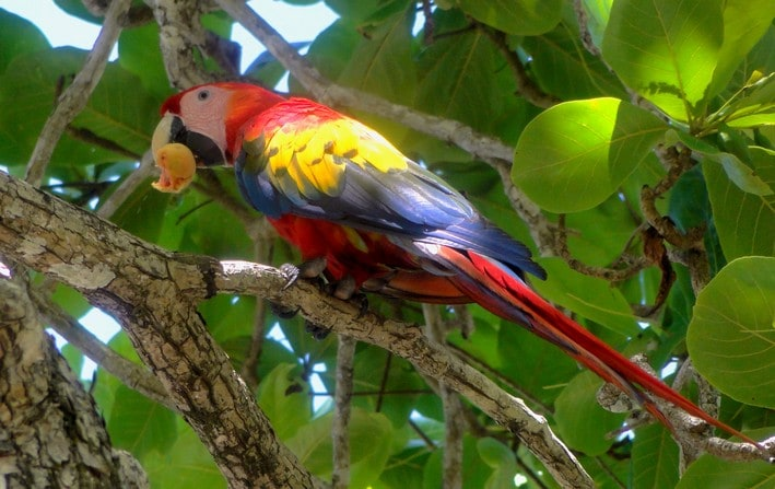 Red macaw / Ara rouge / Papagayo