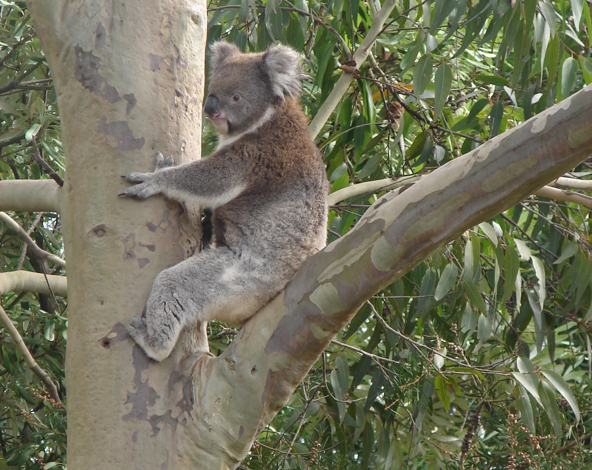 Blinky Bill on a recent visit to our garden