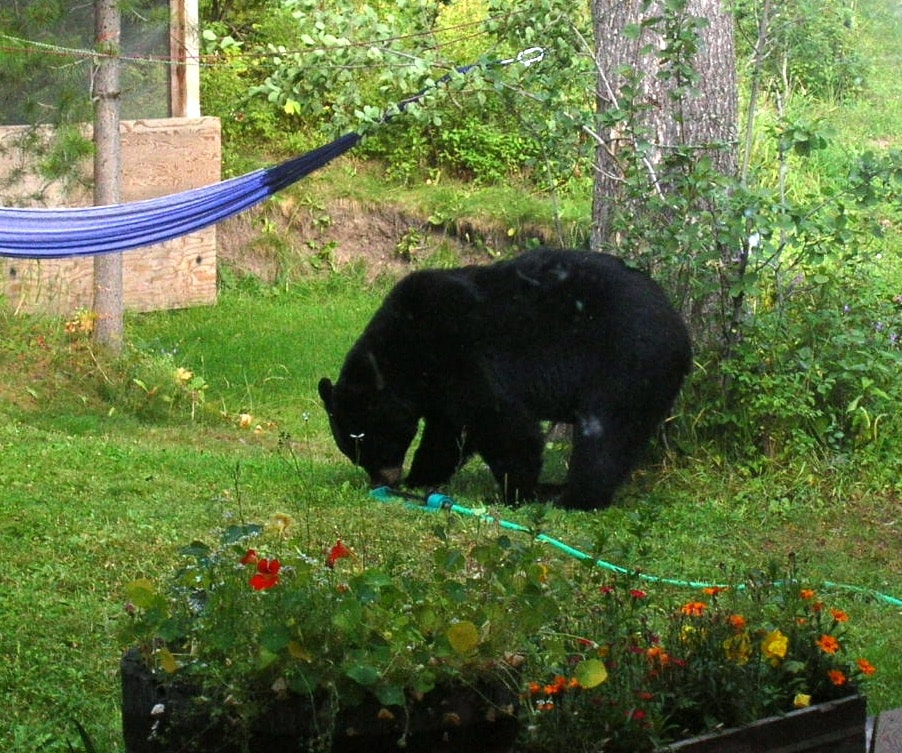 Visitors in my yard include....bear,