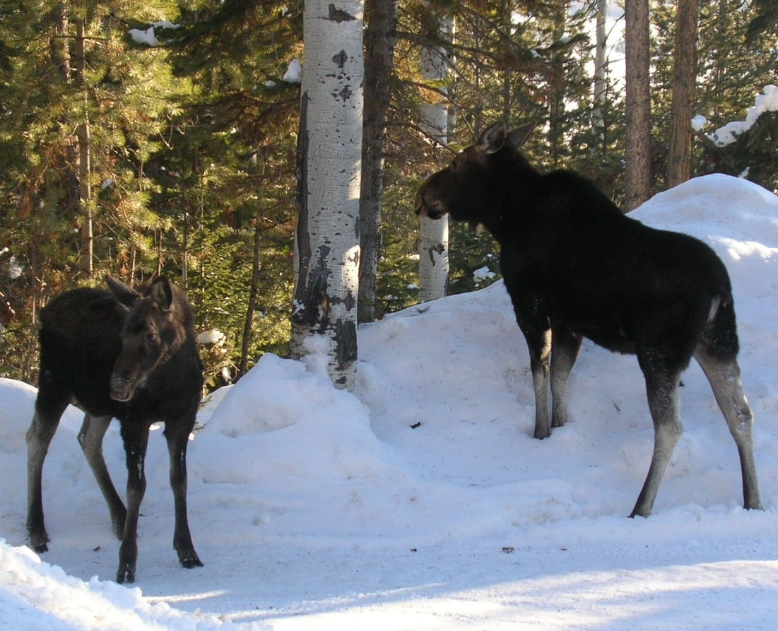 moose (this pic taken of parking area upon which your window looks out),