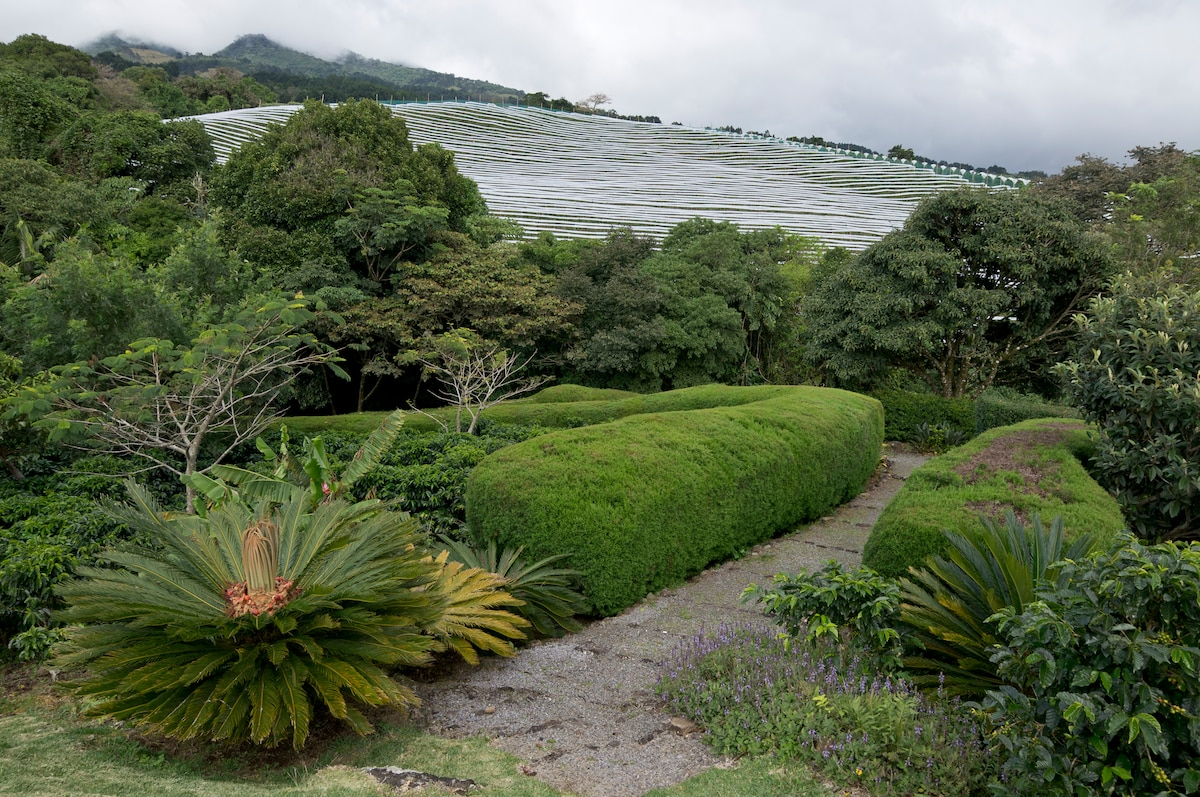 The coffe garden paths, Note coffee bushes on the left.