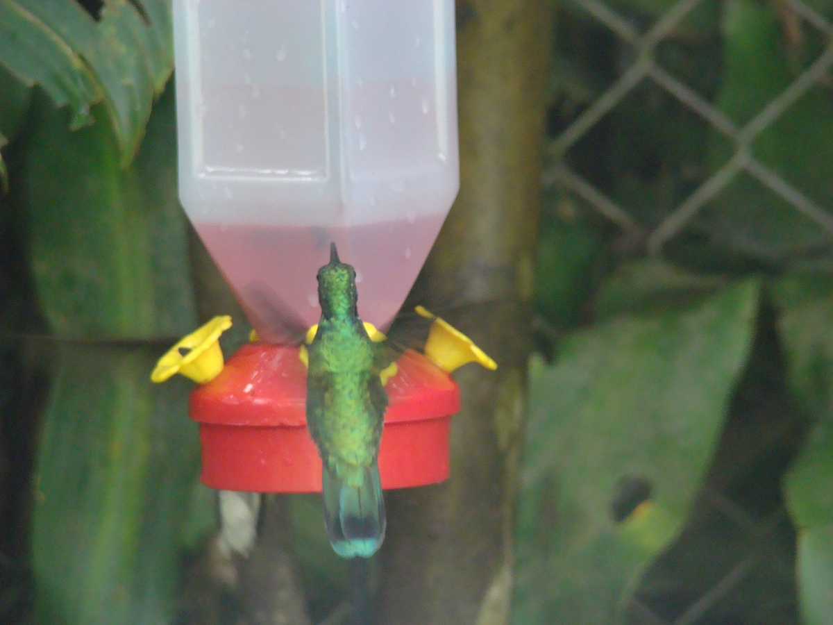 Hmmingbirds at Monteverde Rustic Lodge, Monteverde Costa Rica
