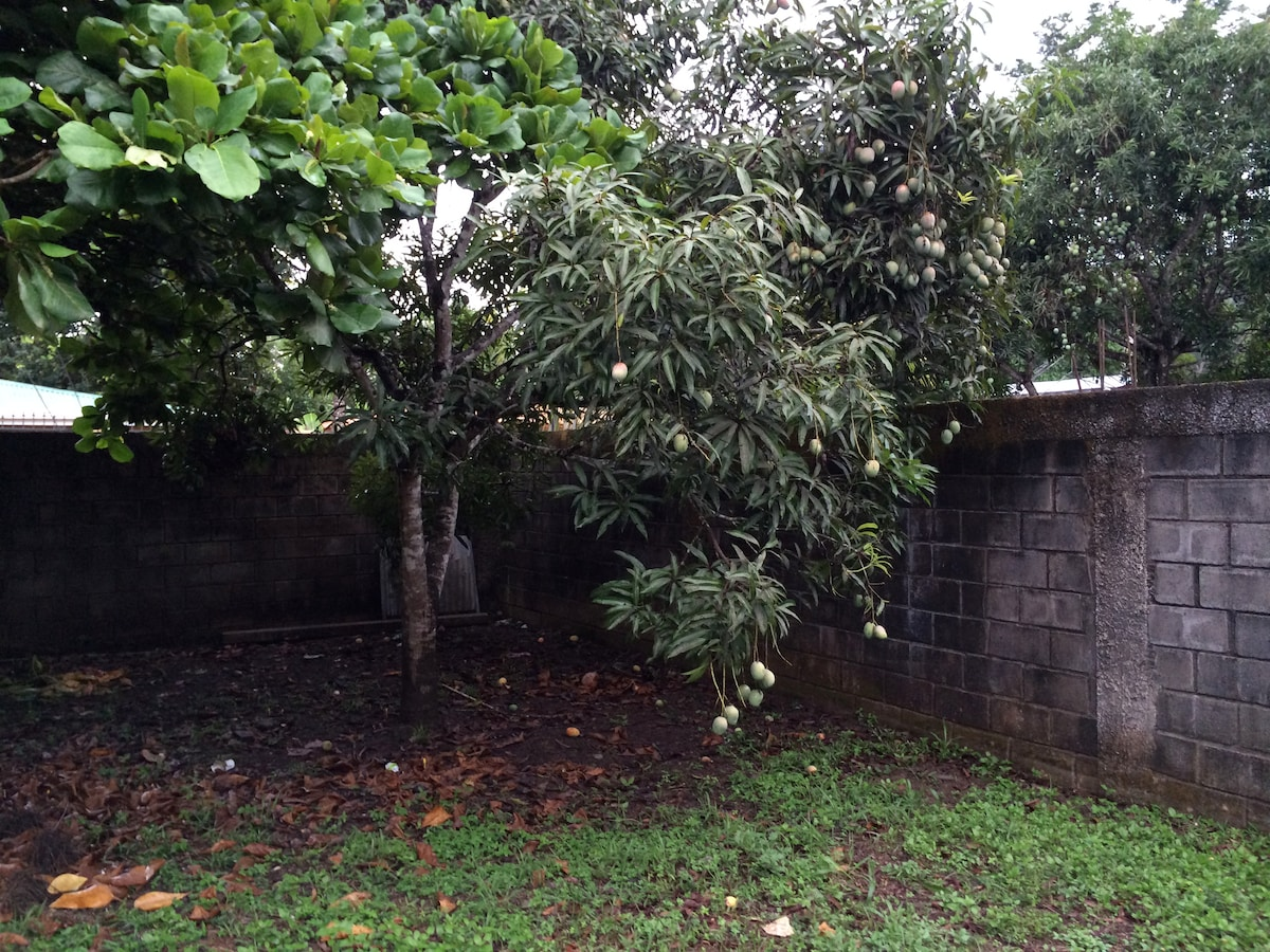 The mango tree in the front yard of the house. YUM!