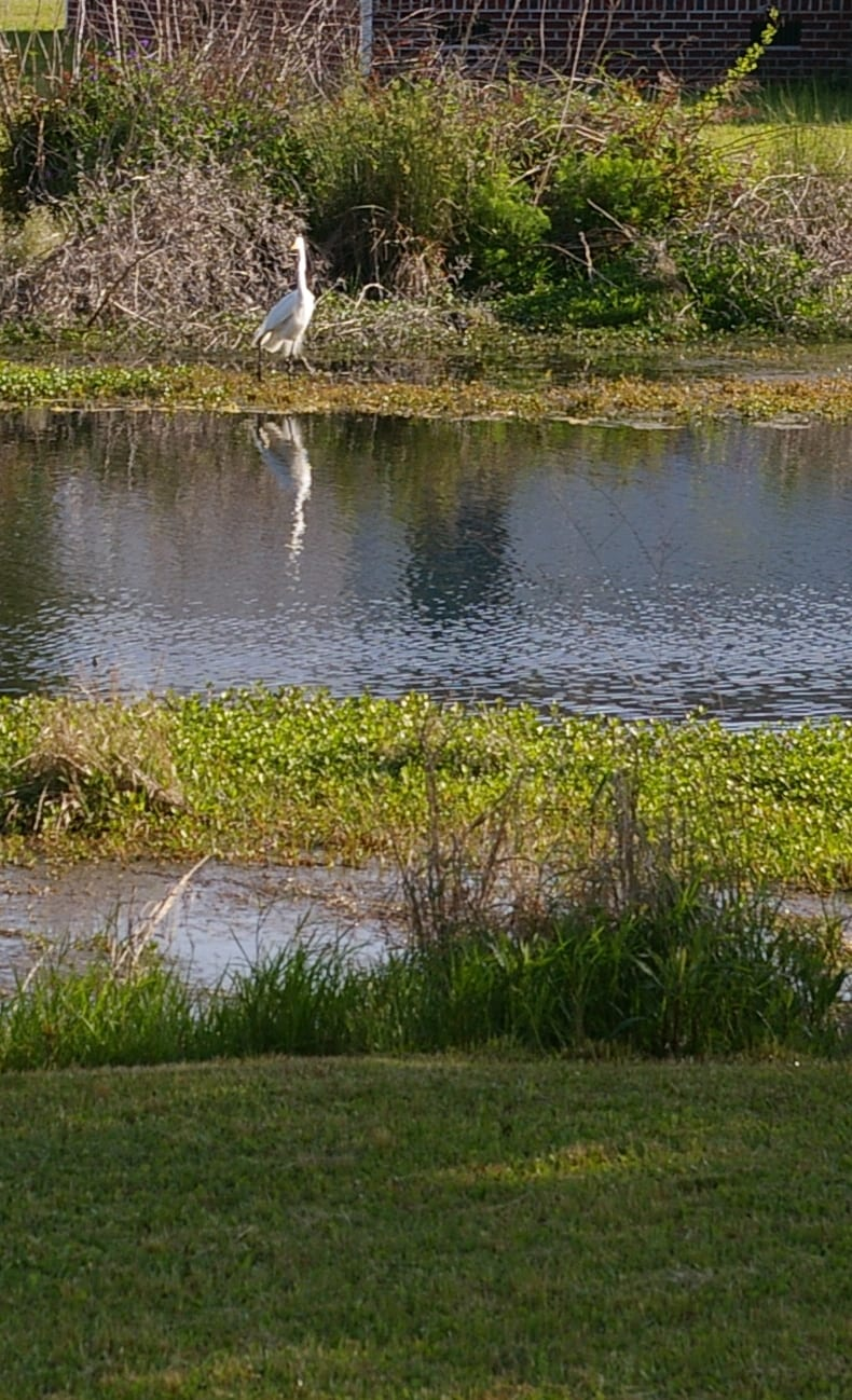Our backyard with pond (notice the egret across the pond).