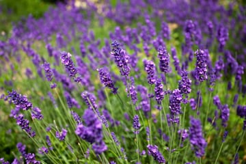 Take home some lavendar.