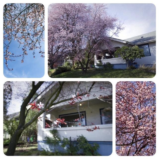 Ornamental plum tree in bloom.