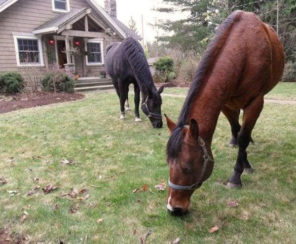 Peacocks & Ponies at Corbett Farm