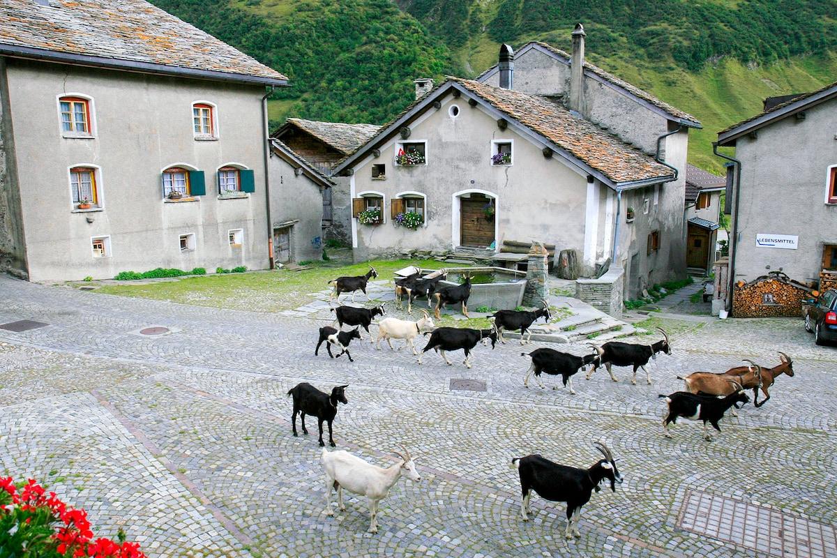 Eintreffen der Ziegen im Sommer (findet täglich statt). Aussicht vom Chalet Jrene aus