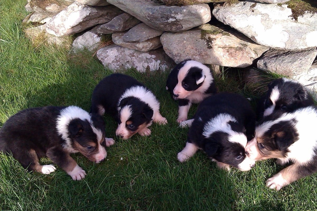 Sheep Dog pups born Dec. 2014.