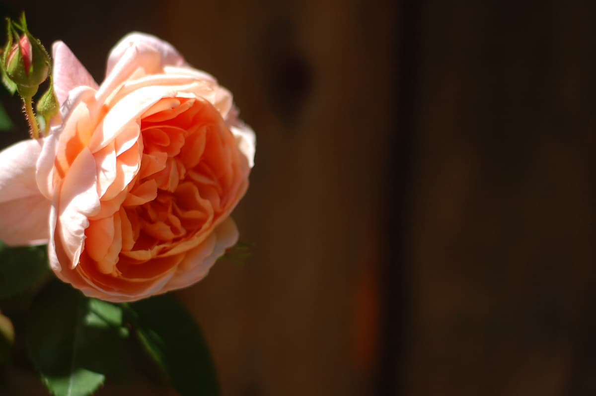 Midsummer Abraham Darby climbing roses greet guests on the cottage walkway