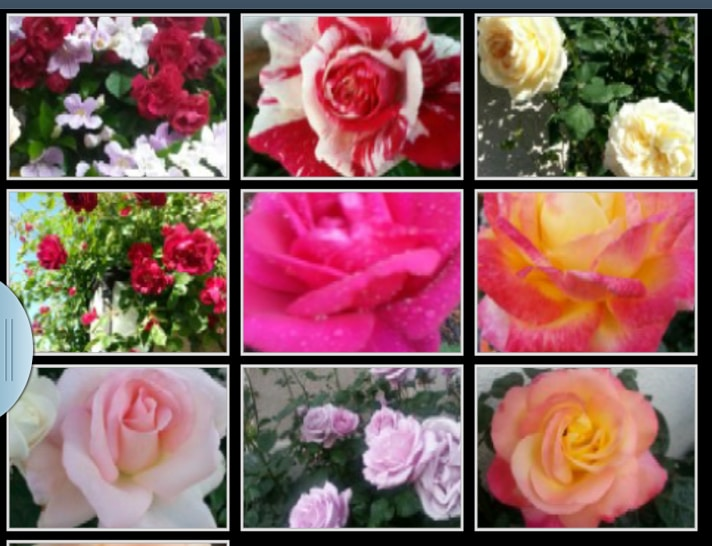 Enjoy our award winning roses while you have your weekend brunch at our garden.