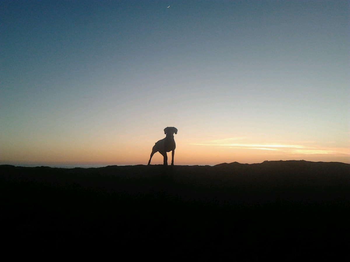 Molly the Weimaraner as the sun going down ..