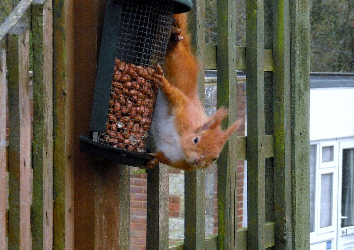 Red squirrels come to feed just outside the chalet.