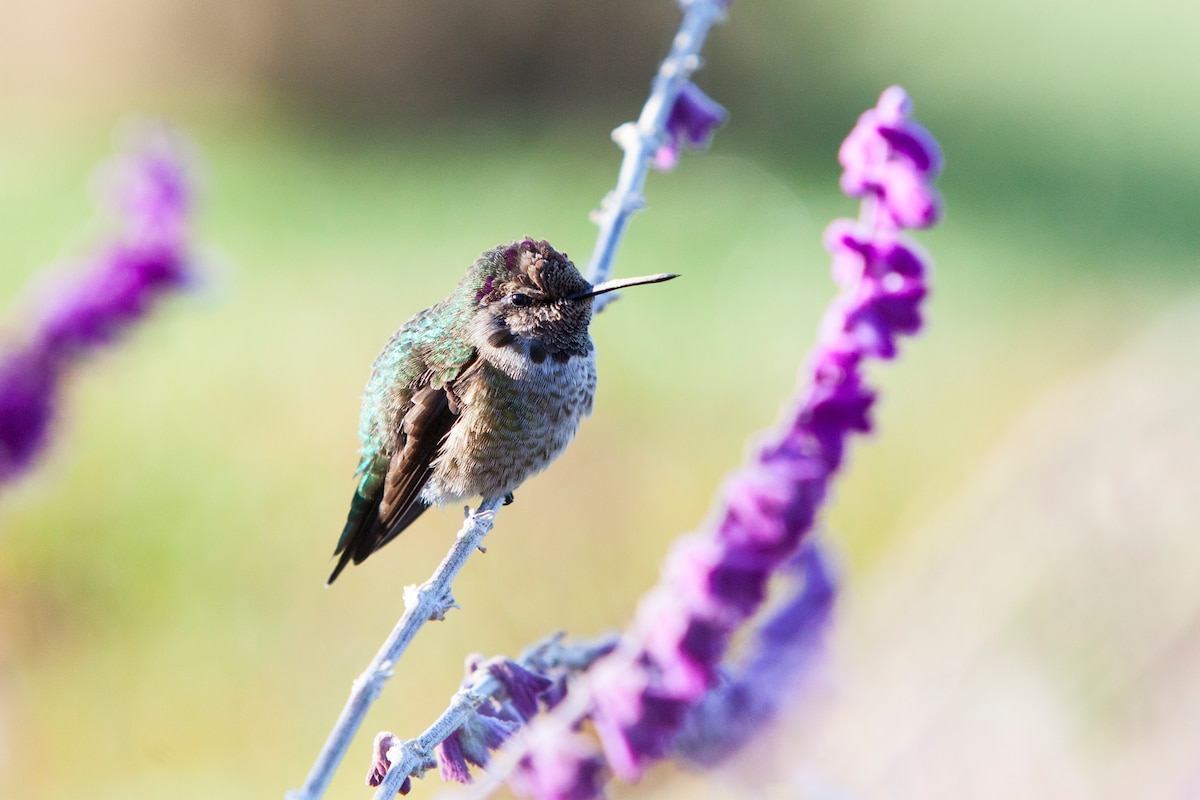 Hummingbirds hang out in the garden and around the front deck all year