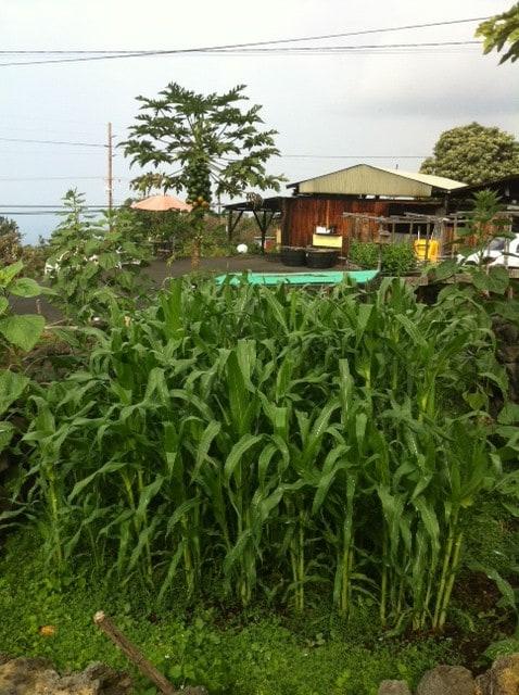 garden area - corn patch