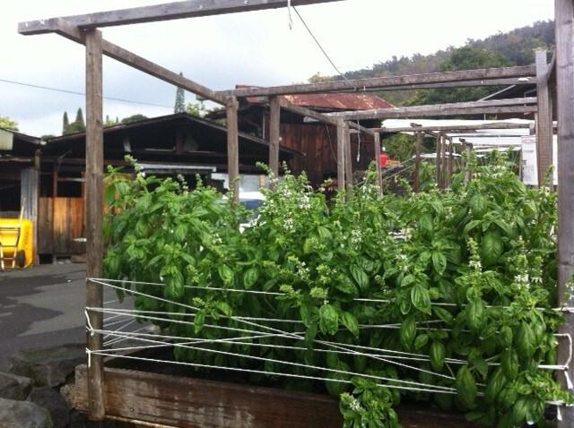 garden beds - basil