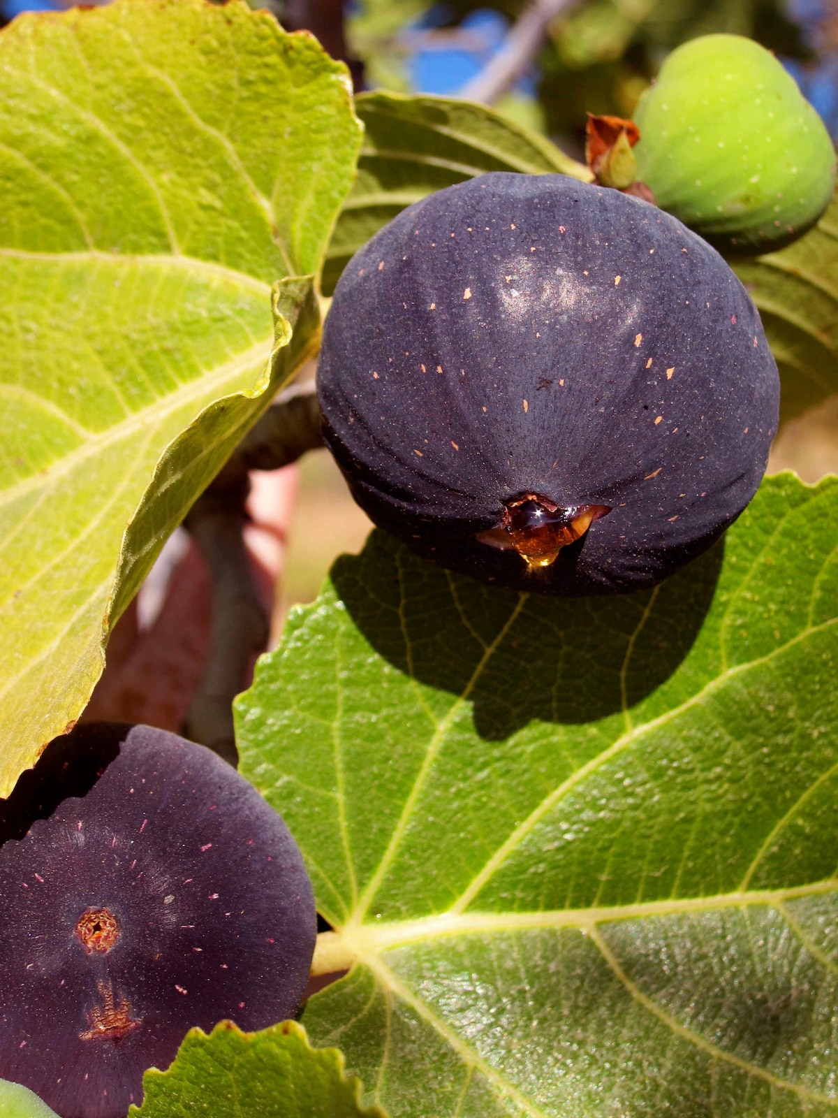 FIgs in September, one of many regional products