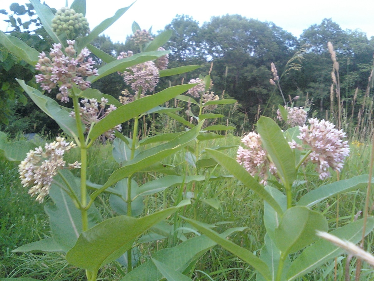 Milkweed flowers will bloom soon and smell sweet. They grace the top of the hill. Your tent site down hill in trees you see.