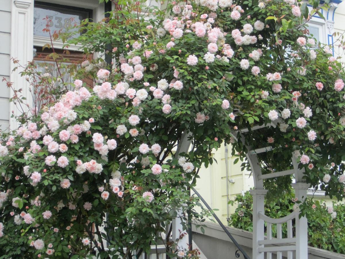 Cecile Brunner Rose History The Cecile Brunner Rose Blooms