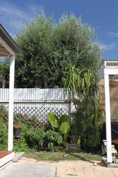 Dwarf fruit trees in the backyard