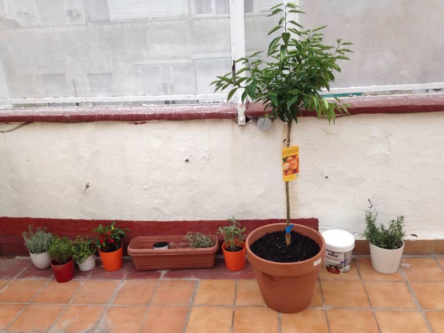 Terrace, my aromatics and Tino the mandarine tree