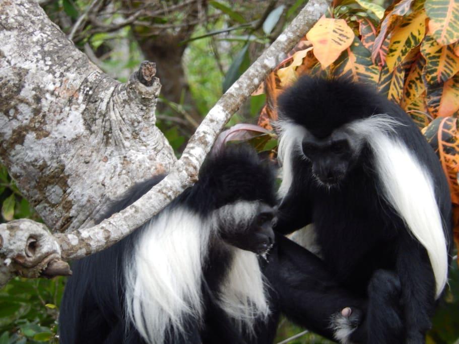 Our Colobus monkeys