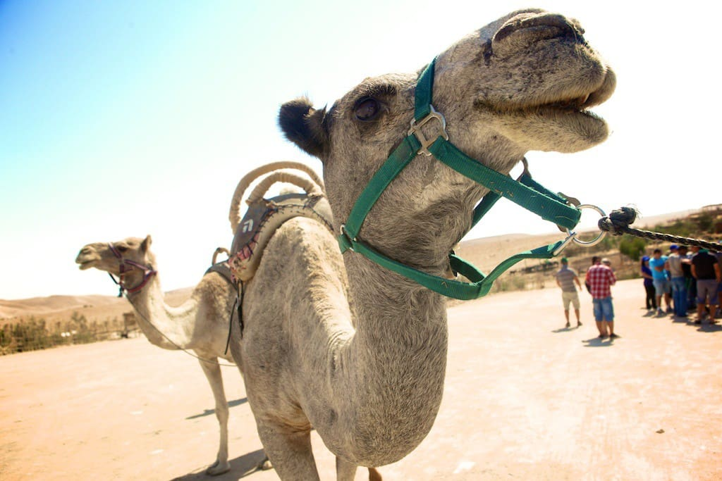check out the camel ranch