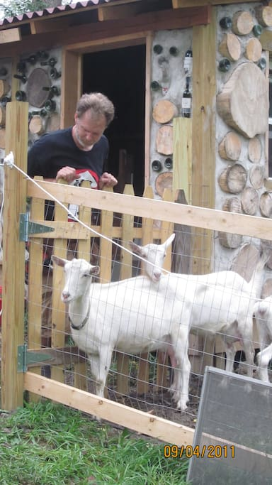Georgia and Stevie two of our Saanen milk goats.
