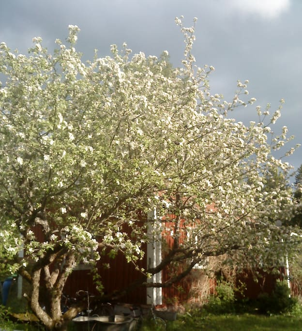 Apple bloom, springtime.