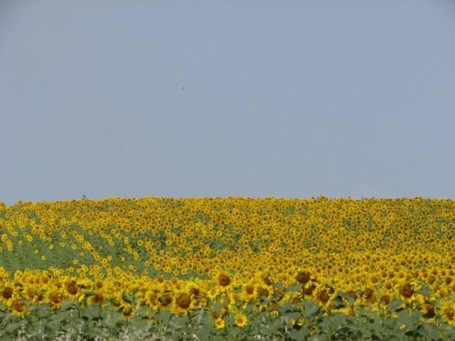 Sunflowers in early summer in the fields around Casa Garuda.