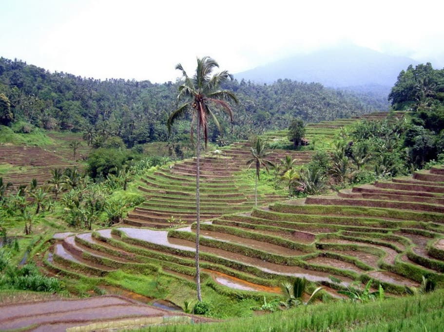 This walk begins in the traditional village of Sarinbuana and takes you for a stroll through the famous sculptured rice fields to the river where you may take a refreshing dip in the cool mountain water.