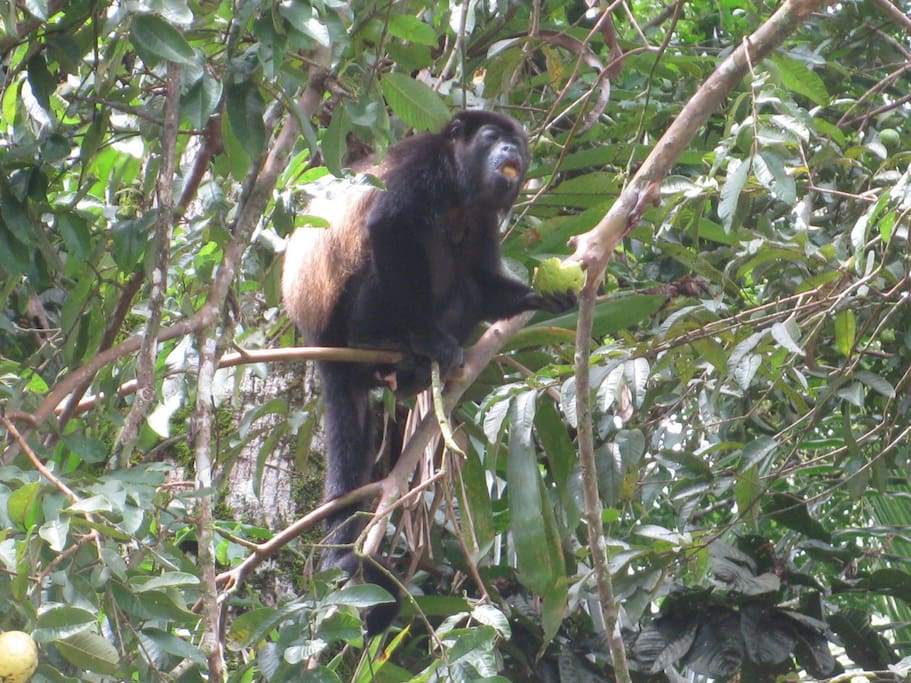 Howler monkey snacking at the Villa Decary