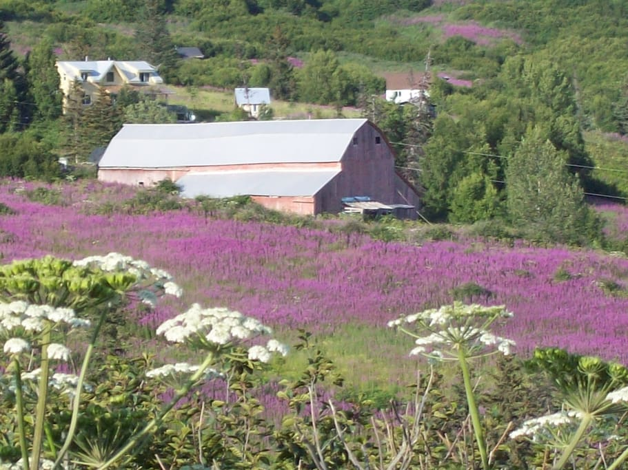 End of July the fireweed in the hills around the house are usually in full bloom.