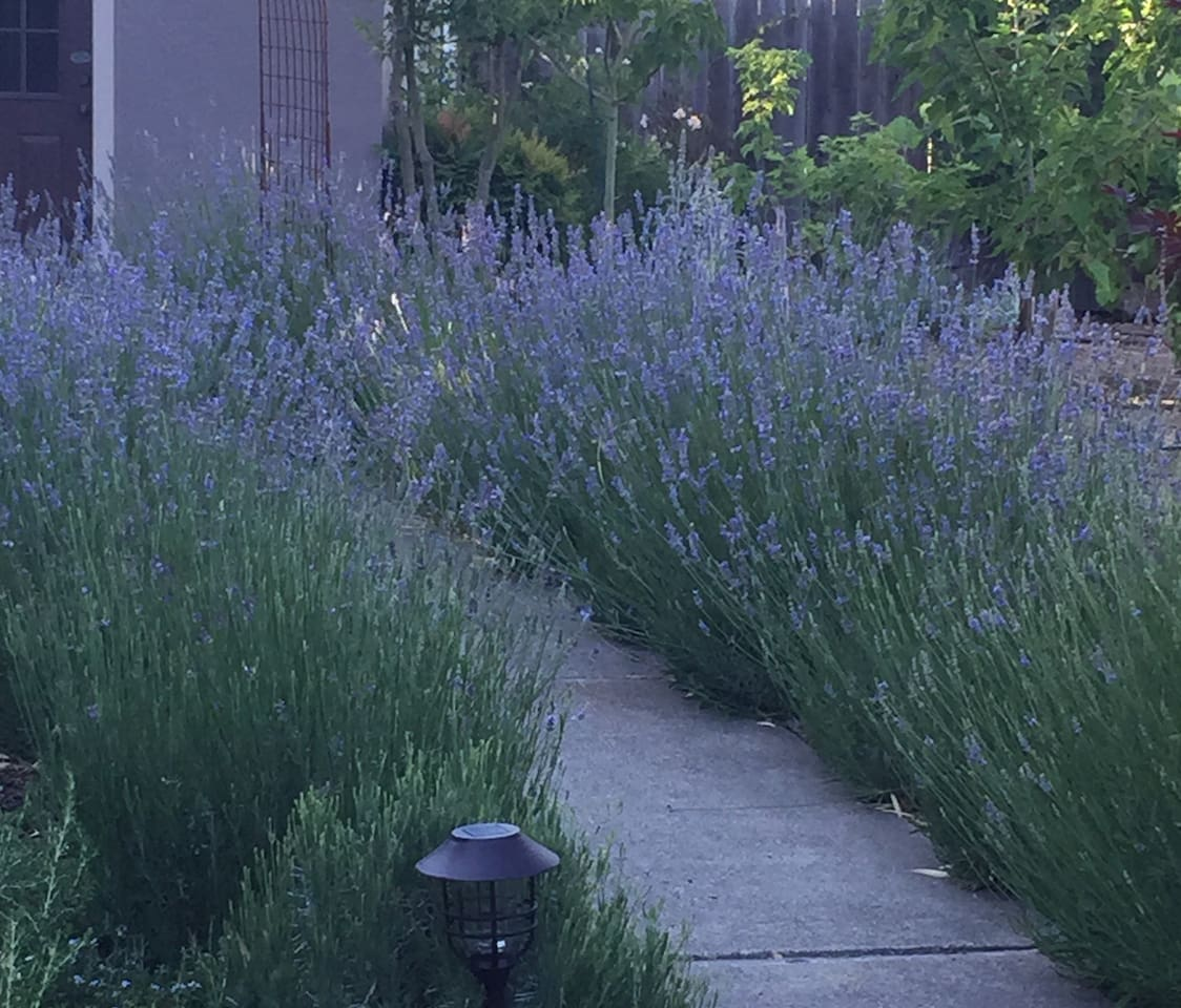 French lavender at it's finest