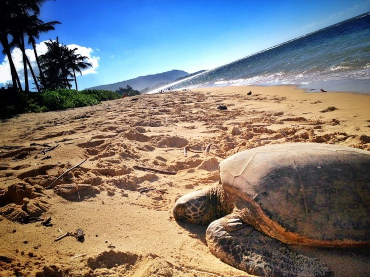 Hawaiian sea turtles napping in front of house,  sometimes see an occasional Monk Seal.