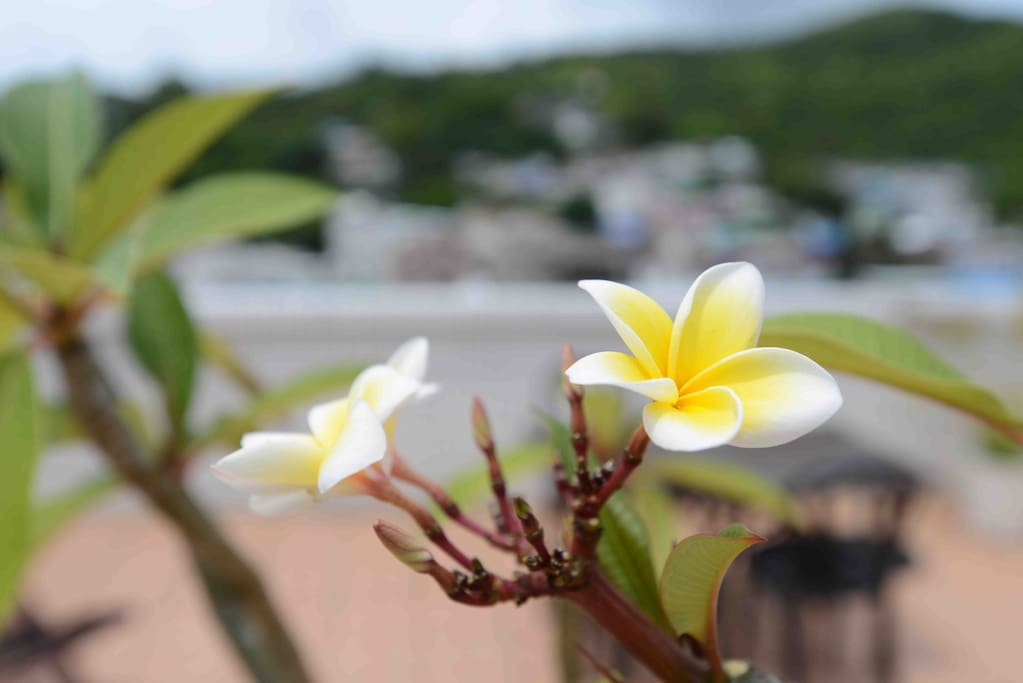 Smell the gorgeous frangipani!
