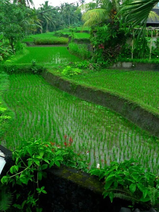 View of next door rice paddies from upstairs balcony