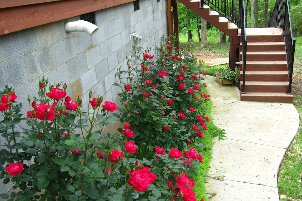 Roses beside our house