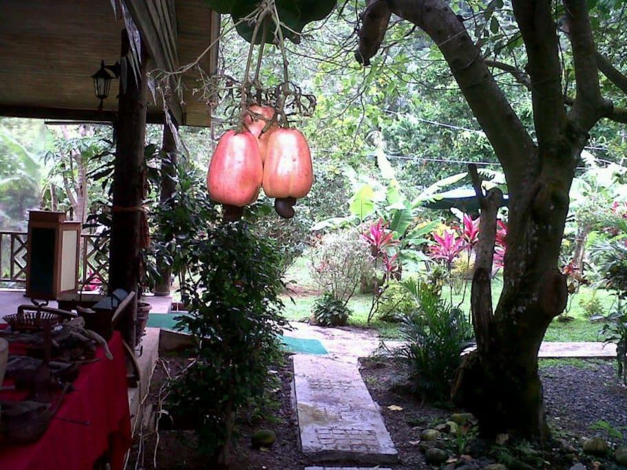 Cashew in the garden