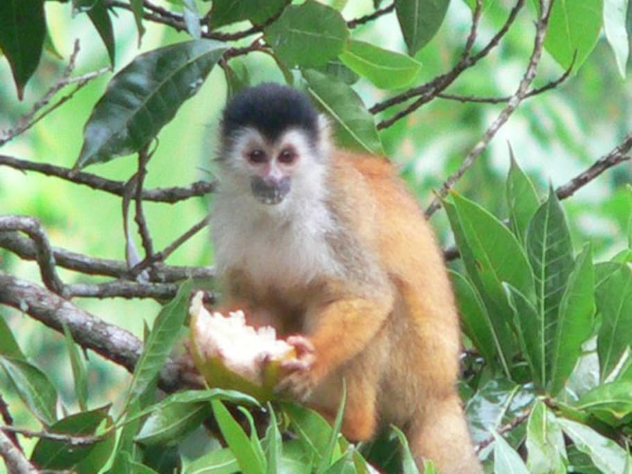 Squirrel monkey tasting its' way through our orchard