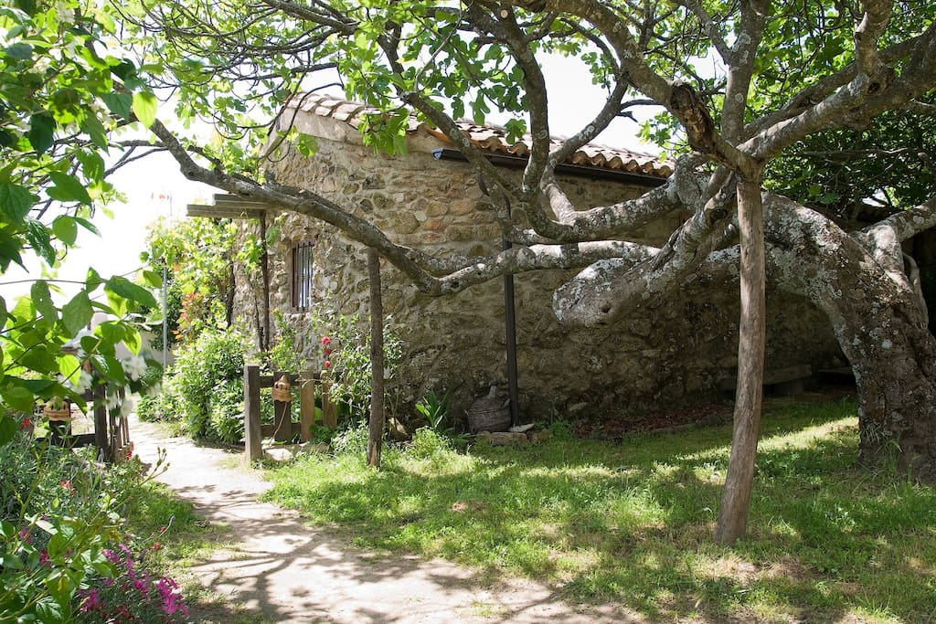 The stone cottage exterior with one of the lovely super old fig trees at the back of the house.