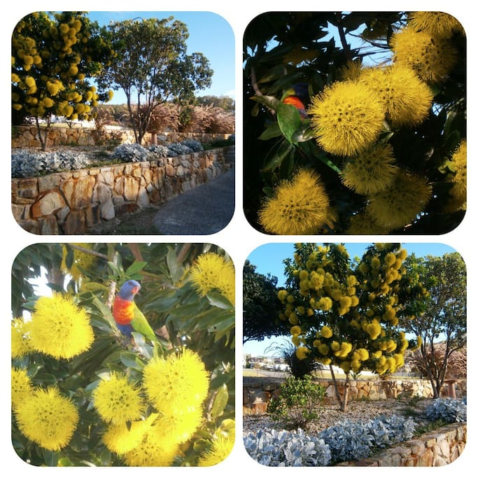 My front garden in Spring. The local birds love yellow.