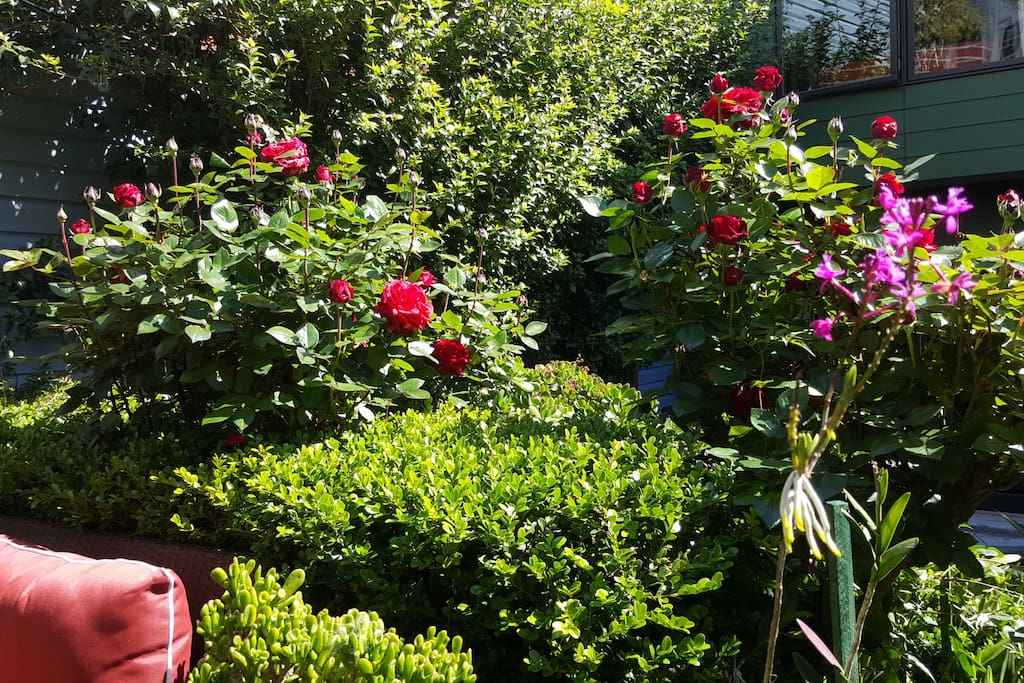 roses are in bloom