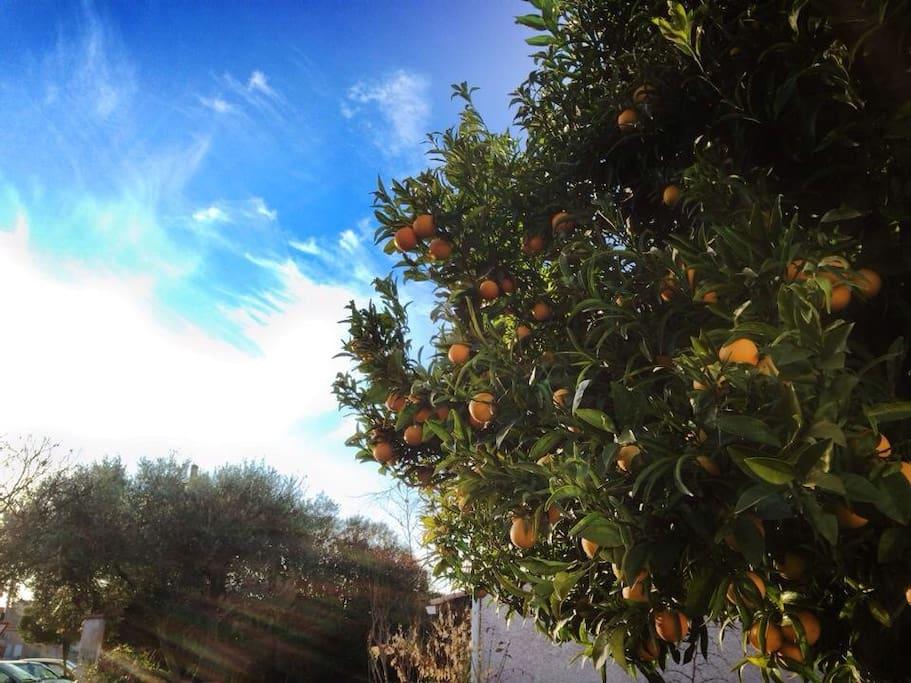 L'oranger du jardin, fin décembre // orange tree at the end of December.